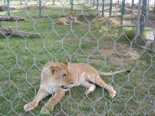 Il leone di Monte Adone
